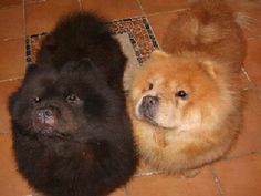 Our Chow Chows, Mami and Maddie, sadly Mami passed away last year