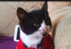 Zorro The Kitten Is Very Clumsy In His Tight Pants