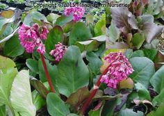Herbaceous : BERGENIA Rotblum - Rounded green leaves flush purple in winter, bright pink flowers in spring. 0.5m high