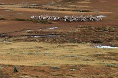Reindeer, Ringebu - Norway www.inatur.no/storviltjakt/50e58b2be4b053634ccc83d8/villreinjakt-ringebu-fjellstyre | Inatur.no