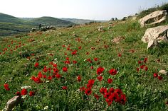 spring flowers in Palestine