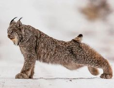 he beautiful 😍 Canada Lynx is a Lynx species native to North America. It ranges across Canada and Alaska extending into the Rocky Nature Animals, Animals And Pets, Baby Animals, Cute Animals, Wild Animals, Big Cats, Cool Cats, Beautiful Cats, Animals Beautiful