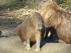 Chigüire (Hydrochoerus hydrochaeris) también conocido como Capibara o carpincho, tienen un cuerpo en forma de barril, cabeza pequeña, pelaje medianamente grueso y de coloración parda rojiza que se vuelve parda amarilla hacia los flancos y vientre. Se encuentra en Colombia, Surinam, Guyana, Paraguay, en Uruguay y en la parte norte de Argentina. En Venezuela se distribuye en los llanos inundables.
