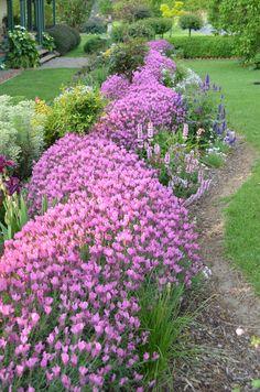 A lavender hedge. Lavender Hedge, Lavender Garden, Hedging Plants, Landscaping Plants, Shrubs, Garden Art, Garden Design, Garden Ideas, Backyard Ideas