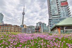 LOS TECHOS VERDES INVADEN TORONTO.  En Toronto están tan decididos a que florezcan sus techos que es la primera ciudad del Norte de América que ha legislado para incluir cubiertas vegetales en todas sus nuevas construcciones.  #Arquitectura #Sustentable