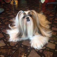 Hello friend #mimi_shihtzu #pet #paws #puppy #shihtzu #showcasing_pets #shihtzulover #cute #animal #dog #diva
