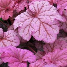 """Heuchera 'Berry Smoothie'. Partial to full shade. Zone 4 - 9. Height: 18 - 25"""". Width: 12 - 18"""". Soil: normal, sandy, clay. Moisture: average or moist. Bloom: late spring - early summer"""
