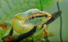 'Tri-Continental Cichlids: The Flag Cichlid (Laetacara curviceps), a dwarf Acara, is a species of Cichlid that lives in slow-moving rivers and streams of South America.'