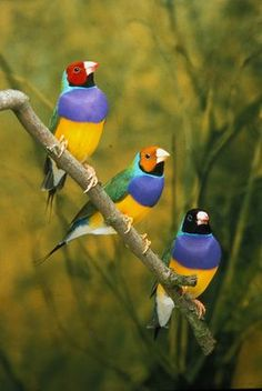 Gouldian Finches sitting on a branch. thought this was photoshop - research shows the colors are real
