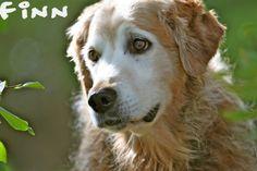 Beauty Of Old Gold - Golden Retrievers : Golden Retriever Dog Forums