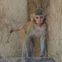 Mischievous eyes on this young monkey at a temple in Myanmar. Trueworldtravels.com