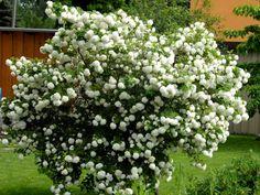 Viburnum opulus 'Roseum' Snowball Bush Zone 3 H: S: Comes in white. Viburnum Opulus Roseum, Snowball Viburnum, Plant Zones, Achillea Millefolium, Foundation Planting, Plant Identification, Shade Garden, Bright Green, Hydrangea
