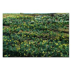 'Daffodil Hill II' by Kurt Shaffer Photographic Print on Canvas