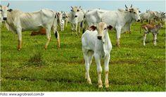bezerro-nos-pasto-entre-as-vacas