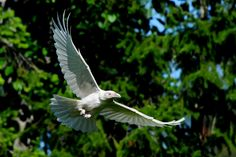 The White Ravens of Qualicum Beach, Vancouver. ... photos: Mike Yip.