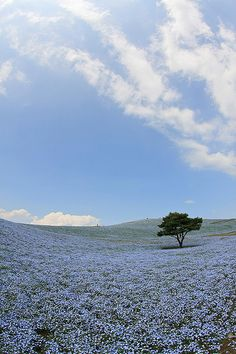 Hitachi Seaside Park #japan #ibaraki