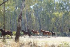 Brumbies: wild horses in Barmah State Forest 2013.