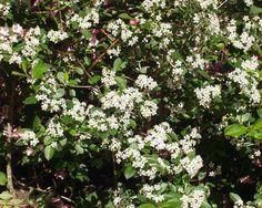 Svart aronia i blom Den vanligaste sorten för plantering av häck är 'Elata' som växer upprätt och kan sträcka sig två meter på höjden. En fin låg sort är 'Hugin' som bildar en tät, meterhög buske utmärkt som lägre inramning eller kantväxt. Både 'Elata' och 'Hugin' kan klara upp till zon 6. En tredje sort är 'Viking' som bjuder på extra stor bärskörd och blir mellan en och två meter hög och odlas säkrats upp till zon 4.