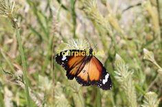Hier zeigt der Kleine Monarch seine Flügeloberseite.