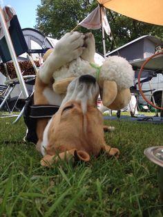 My circus Beagle