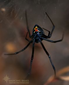 """#Arachnids, #Spiders - """"signs"""" - Black Widow - I love the almost sensuality of the Black Widow, but don't get too close! ©Dancing Snake Nature Photography"""