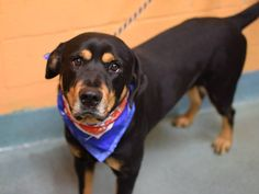 SAFE --- TO BE DESTROYED - 12/05/14 Brooklyn Center -P*****  My name is MAX. My Animal ID # is A1021847. I am a male black and tan rottweiler. The shelter thinks I am about 2 YEARS old.  I came in the shelter as a STRAY on 11/28/2014 from NY 11208, owner surrender reason stated was STRAY.  https://www.facebook.com/photo.php?fbid=916630908349789%2F