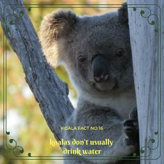 Koalas are one of the few animals that do not go to a water source like a river or creek to drink each day. Girl Scouts, Interesting Stuff, Applique, Core, September, Cute Animals, Australia, Facts, Bear