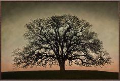 Winston, Majestic Oak on OneKingsLane.com