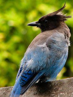 Steller's Jay Bird - Alaska
