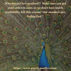 Happy Sunday everyone! Don't forget to get your order in for peafowl soon! Availability is going fast! Happy Sunday Everyone, Peafowl, Baby Chicks, Poultry, Don't Forget, Books, Peacock, Backyard Chickens, Libros