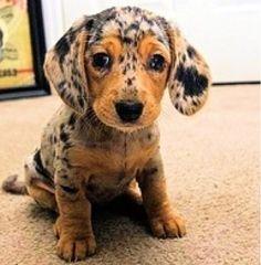 oh que perro!: Teckel