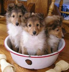 A bowl of collie puppies. Cute Puppies, Cute Dogs, Dogs And Puppies, Doggies, Animals And Pets, Baby Animals, Cute Animals, Beautiful Dogs, Animals Beautiful