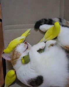 Cute Little Animals, Cute Funny Animals, Cute Cats, Beautiful Cats, Animals Beautiful, Funny Birds, Cute Animal Videos, Budgies, Cute Creatures