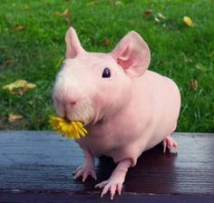 For the love of animals. Pass it on.  https://www.thedodo.com/ludwik-guinea-pig-1664323905.html