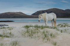Eriskay Pony, Luskentyre, Isle of Harris. Captured by Scottish landscape photographer Karen Thorburn Photography. Hackney Horse, Highland Pony, Scotland Landscape, Isle Of Harris, Scottish Islands, Dartmoor, Clydesdale, New Forest, Inverness