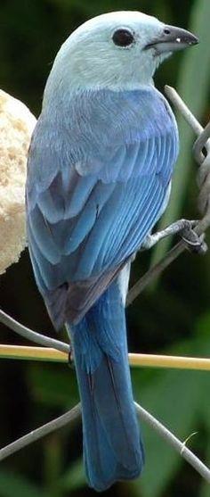 La Tangara azul - gris se encuentra desde México hacia el sur hasta el noreste de Bolivia y el norte de Brasil, la totalidad de la cuenca del Amazonas , excepto el extremo sur . Se ha introducido a Lima ( Perú ) . En Trinidad y Tobago , esta ave se llama mezclilla azul .