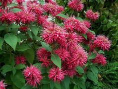 (Monarda) bee balm - herb mid-summer to autumn Healing Plants, Herbaceous Perennials, Plants, Planting Flowers, Garden Pictures, Flowers, Bee Balm Plant, Plant Care, Herb Seeds