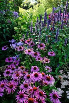Echinacea purpurea After Midnight , Agastache .- Echinacea purpurea After Midnight , Agastache Blackadder Echinacea purpurea After Midnight , Agastache Blackadder - Purple Garden, Shade Garden, Beautiful Gardens, Beautiful Flowers, Beautiful Beautiful, Garden Cottage, Meadow Garden, Dish Garden, Garden Bed