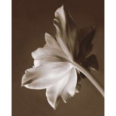 Moonglow Tulip Canvas Art - Rebecca Swanson (20 x 24)