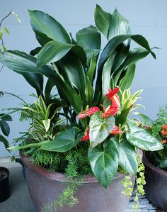 "Shade container with Aspidistra aka Cast Iron Plant, Anthurium, Dracaena 'Gold Star"", Asparagus fern, and Lysimachia nummularia 'Aurea' (Golden creeping Jenny)"