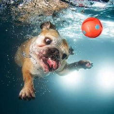LOLA the English Bulldog from the Chicago Underwater Dogs Event on Saturday! Funny Dog Fails, Funny Dog Memes, Funny Animal Memes, Cute Funny Animals, Funny Animal Pictures, Dog Pictures, Funny Dogs, Cute Dogs, Underwater Dogs