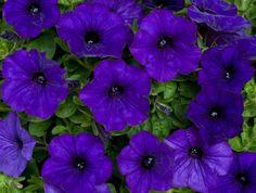 hybrid petunias | Petunia Hybrid Basket (Blue)