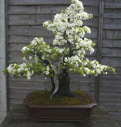 ":-: ""Prunus cerasifera"", Plum bonsai, Cerezo"