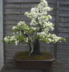 Bonsai Plum