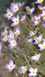 Couvre-sol Houstonia caerulea  Houstonie bleue  -bluets Floraison = mai - juin Hauteur = 5-10 cm Espacement = 25 cm Elle forme des colonies de petites fleurs lavande pàle au centre jaune. Opportuniste mais pas envahissante, elle s'approprie les gazons dégarnis, le bord des trottoirs et des chemins, l'espace entre les dalles et les rocailles. Sol humide ou bien drainé. Indigène.
