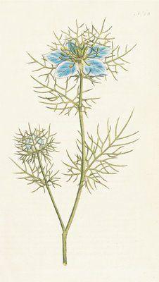 Nigella damascena. Garden Fennel-flower by  Sydenham Teast Edwards