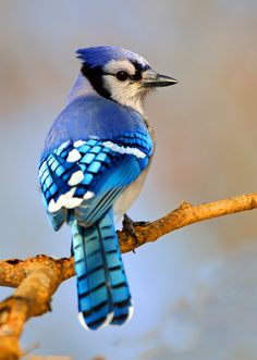 A great take-away point about the meaning of blue jays is this: Be focused in thought first. Then take focused action.