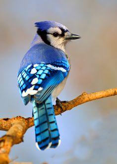 symbolic blue jay meaning