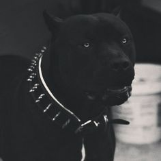 Master of Puppets Pitbull Noir, Black Pitbull, Pitbull Terrier, Beautiful Dogs, Animals Beautiful, Chien Dobermann, Animals And Pets, Cute Animals, Scary Dogs