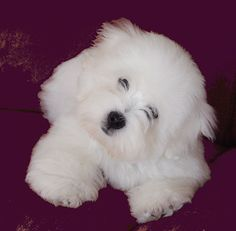 coton de tulear pictures - Yahoo Search Results